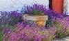 Set van 6 echte lavendelplanten