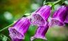 The Dirty Gardener Digitalis Purpurea Foxglove Mix: