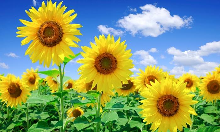 bc89b7b9ebd7eb Pre-Seeded Sunflower Garden | Groupon Goods