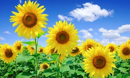 Pre Seeded Sunflower Garden Groupon Goods
