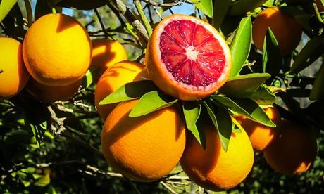 1 o 2 naranjos Tarocco rojo de 100-120cm