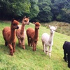 Alpaca Experience for Two