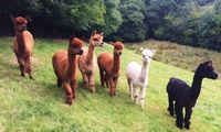 150-Minute Alpaca Experience with Refreshments for Two from Woolley Animals