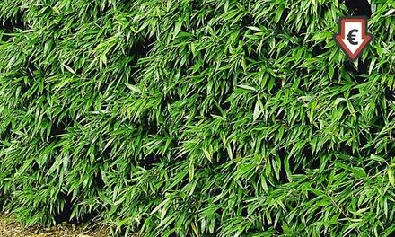 8 16 24 pflanzen winterharte bambushecke deutschland deals und t gliche angebote. Black Bedroom Furniture Sets. Home Design Ideas
