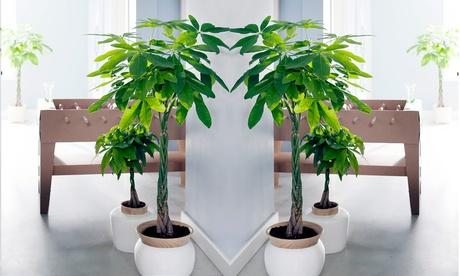 2 o 4 arbustos del dinero de interior