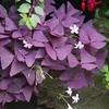 Lucky Shamrock Flower Bulbs (25-Pack)
