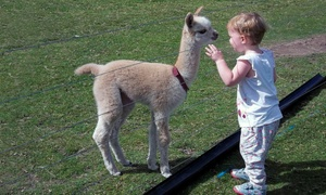 Charnwood Forest Alpacas: Charnwood Forest Alpacas: 'Walk With Alpacas' Experience (from £18) or Adopt an Alpaca (£39) (Up to 50% Off)