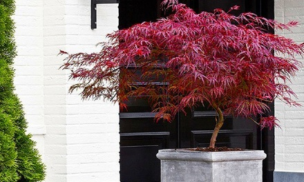 Two, Four or Eight Young Japanese Maple Trees with Optional Black Flared Planters and Feed