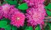 Clematis Blushing Bridesmaid Plants (2-Pack): Clematis Blushing Bridesmaid Plants (2-Pack)