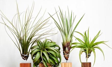 Sets Tillandsia luchtplanten met 4 tot 6 verschillende soorten per set