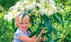 Pre-Order: Fragrant Giant Lily Pretty Woman Flower Bulbs (5-Pack): Pre-Order: Fragrant Giant Lily Pretty Woman Flower Bulbs (5-Pack)