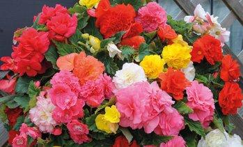 Begonia Mixed Non-Stop Tubers