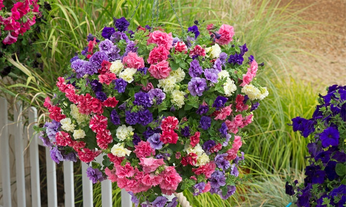 Scented Petunia 'Frills & Spills'™ Mixed' – 5, 10 or 20 Plants with Optional Hanging Baskets (£3.98)