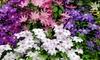 Meerkleurige clematisplanten