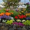 Rock Garden Flower Bulb Mix (55, 110, or 220 Bulbs)