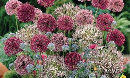 100 Sparkler Allium Bulbs in 7 Varieties