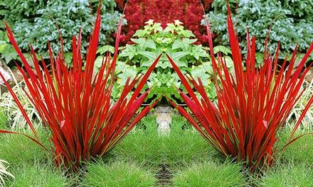 """Baldur Garten9x oder 18x Ziergras """"Red Baron"""" (Imperata cylindrica) (Frankfurt)"""