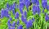 Pre-Order: Grape Hyacinth Flower Bulbs (25-Pack): Pre-Order: Grape Hyacinth Flower Bulbs (25-Pack)