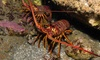 Up to 31% Off Lobster-Diving Tours at La Jolla Water Sports