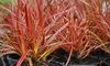 Uncinia Rubra Everflame Plant