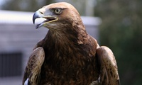 Full-Day Bird of Prey Experience for One or Two at Yarak (Up to 61% Off)