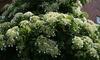 Plantes d'hortensia grimpant