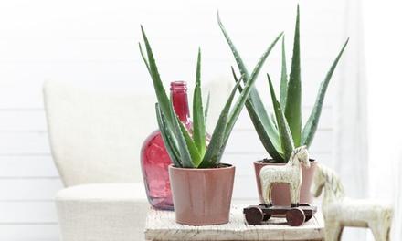 Set di piante Aloe Vera