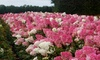 Lot de 2 ou 4 plantes Hydrangea paniculata 'Vanille Fraise'