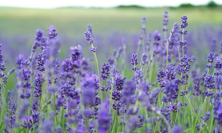Three or Nine Lavender Hidcote Plants with Optional Weed Barrier, Pegs and Fertiliser