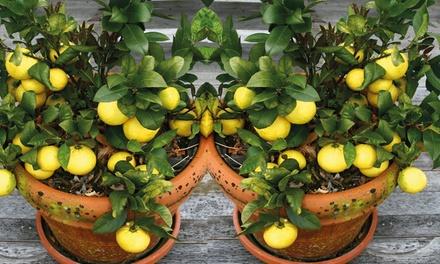 4 Mediterranean Fruit Plants