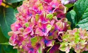 Plantes Hortensia Macrophylla