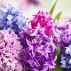 Hyacinth Fruit Cocktail or Perfume Bulb Mix (10-Pack)