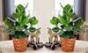 Planten Clusia Rosea