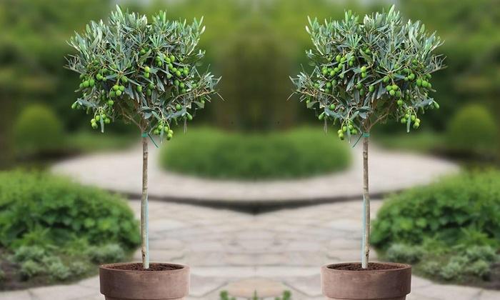 Groupon Goods Global GmbH: Lot de 2 oliviers, 90-100 cm