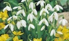 Giant Snowdrops - 20, 40 or 100 Spring Bulbs