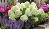 Hydrangea Paniculata 'Little Spooky' Plant