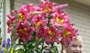 Pre-Order: Giant Star Kissed Lily Bulbs (6-, 12-, or 30-Pk. + Planter)