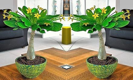 bis zu 73 rabatt hawaii palme groupon. Black Bedroom Furniture Sets. Home Design Ideas