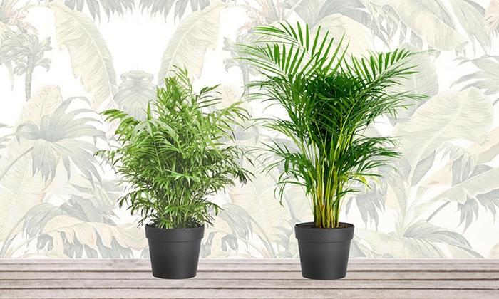 Groupon Goods Global GmbH: Lot de 2 ou 4 mini palmiers d'intérieur