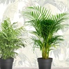 Lot de mini palmiers d'intérieur