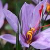 Saffron Crocus Sativus Bulb (15-Pack)