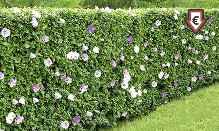hibiskus hecke mit 15 pflanzen groupon. Black Bedroom Furniture Sets. Home Design Ideas