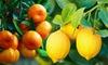 Citronnier/Mandarinier 100/120 cm