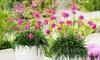 Juego de plantas Armeria Abbey Deep Rose