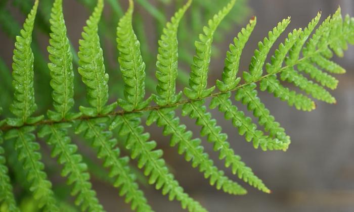 One, Two or Three Shuttlecock Fern Plants (£5.28)