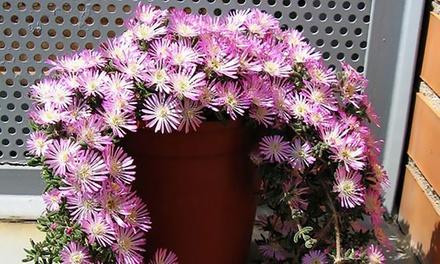 3 o 5 piante Barba di Giove