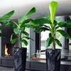 2 oder 4 Bananenpflanzen