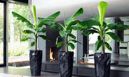 2 oder 4 exotische Bananenpflanzen mit großen Blättern für den Innenraum (Koln)