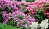 Mezcla de rododendros