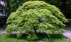 """1 ou 2 grands érables japonais """"Emerald Lace"""" en pot"""